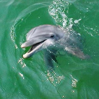 panama-city-dolphin
